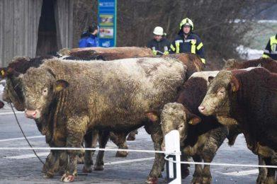 Januar 2019: Verkehrsunfall Viehtransporter 1